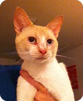 Siamese Cat for adoption in Gainesville, Florida - Miles