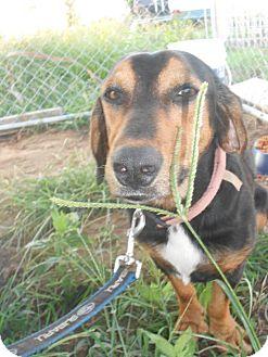 Dachshund/Beagle Mix Dog for adoption in Shawnee, Oklahoma - Flap Jackie