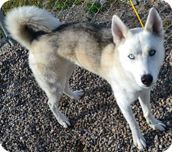 Husky Mix Dog for adoption in Fruit Heights, Utah - Niko