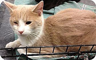 Domestic Shorthair Kitten for adoption in Pittstown, New Jersey - Duncan