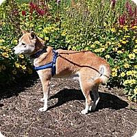 Adopt A Pet :: Kameyo - Centennial, CO