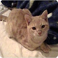 Adopt A Pet :: Crimson OUR MOST SPECIAL KITTY - lake elsinore, CA