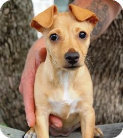 Chihuahua Mix Puppy for adoption in Bradenton, Florida - Mandy
