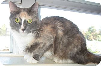 Domestic Longhair Cat for adoption in Winchester, Virginia - Halli