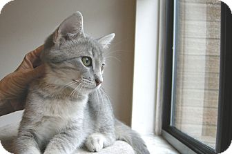 Domestic Shorthair Kitten for adoption in Clarksville, Indiana - Shana