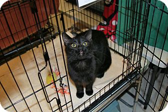 Domestic Shorthair Cat for adoption in Rochester, Minnesota - Victor