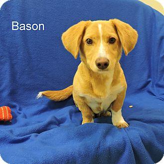 Basset Hound/Beagle Mix Puppy for adoption in Slidell, Louisiana - Bason