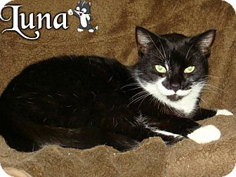 Domestic Shorthair Cat for adoption in River Edge, New Jersey - Luna