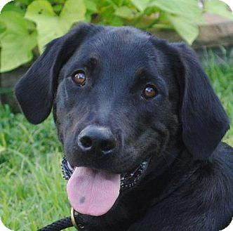 Labrador Retriever/Setter (Unknown Type) Mix Dog for adoption in Cedartown, Georgia - Ben