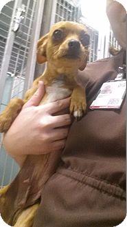 Chihuahua Dog for adoption in Manhattan, Kansas - Marley