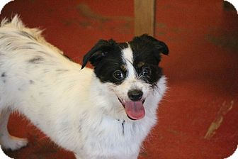 Jack Russell Terrier Mix Dog for adoption in New Orleans, Louisiana - Napoleon