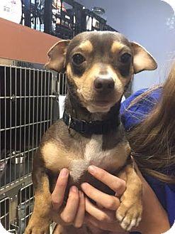 Chihuahua Mix Dog for adoption in Meridian, Idaho - Cajun