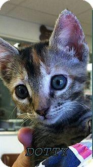Domestic Shorthair Kitten for adoption in Jackson, Mississippi - Dotty