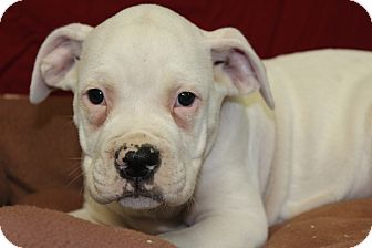 Boxer Mix Puppy for adoption in Waldorf, Maryland - General
