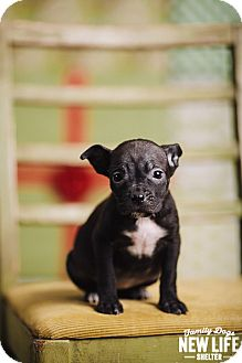 Boston Terrier/Pit Bull Terrier Mix Puppy for adoption in Portland, Oregon - Caterpillar