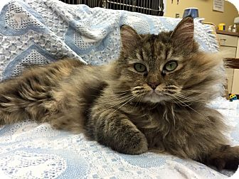 Domestic Longhair Cat for adoption in Maryville, Missouri - Miss Kitty