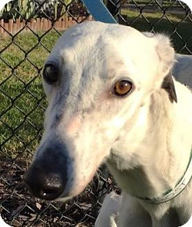Greyhound Dog for adoption in Longwood, Florida - GF Ghost