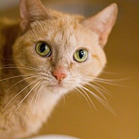 Domestic Shorthair Cat for adoption in Grayslake, Illinois - Dixie Chick
