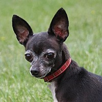 Chihuahua Mix Dog for adoption in Colorado Springs, Colorado - Rachael