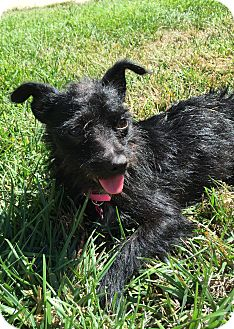 Chihuahua/Terrier (Unknown Type, Small) Mix Dog for adoption in Pleasanton, California - Sophie