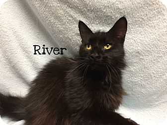 Domestic Mediumhair Cat for adoption in Foothill Ranch, California - River