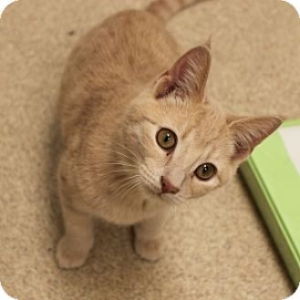 Domestic Shorthair Kitten for adoption in Naperville, Illinois - Re-Purr