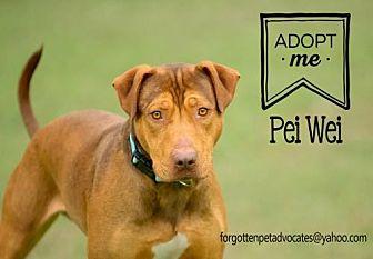 Shar Pei/Doberman Pinscher Mix Dog for adoption in Pearland, Texas - Pei Wei