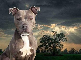 Pit Bull Terrier Dog for adoption in Fairfield, California - JESSICA RABBIT