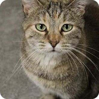 Domestic Shorthair Cat for adoption in Larned, Kansas - Jinx