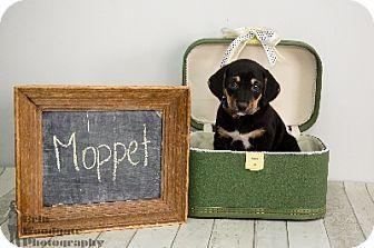 Australian Shepherd/Hound (Unknown Type) Mix Puppy for adoption in Duart, Ontario - Moppet