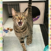 Domestic Shorthair Kitten for adoption in Atco, New Jersey - Cadee