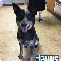 Adopt A Pet :: Pedro - Maryville, IL