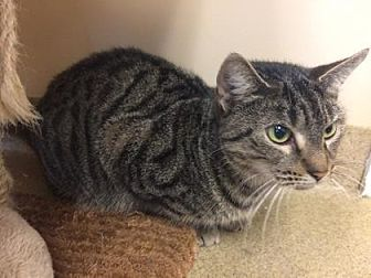 Domestic Shorthair/Domestic Shorthair Mix Cat for adoption in Pompano Beach, Florida - Patience