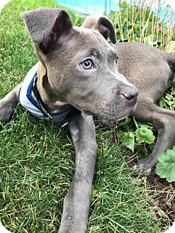 American Pit Bull Terrier/Border Collie Mix Puppy for adoption in Crete, Illinois - Peanut Butter