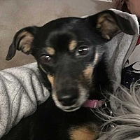 Miniature Pinscher/Chihuahua Mix Dog for adoption in Coopersburg, Pennsylvania - Anne
