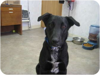 Labrador Retriever/Australian Cattle Dog Mix Dog for adoption in Rock Springs, Wyoming - Blue