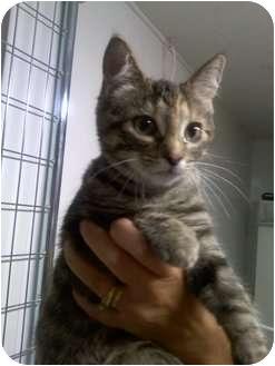 Domestic Shorthair Kitten for adoption in Columbiaville, Michigan - Harriet