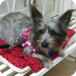 Yorkie, Yorkshire Terrier Mix Dog for adoption in Tallahassee, Florida - Cami