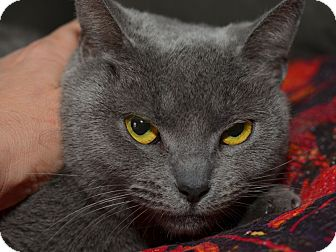British Shorthair Cat for adoption in Brooklyn, New York - Mata Hairy