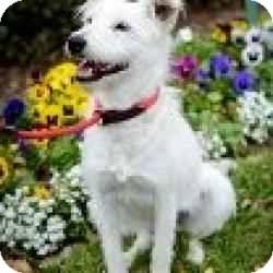 Terrier (Unknown Type, Medium)/Westie, West Highland White Terrier Mix Dog for adoption in Houston, Texas - Annie