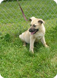 German Shepherd Dog Mix Puppy for adoption in Lancaster, Ohio - Scout