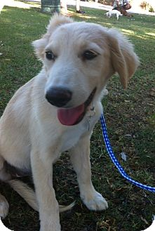 Golden Retriever Mix Puppy for adoption in El Cajon, California - LIZZIE