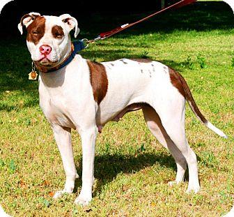 Staffordshire Bull Terrier/Pit Bull Terrier Mix Dog for adoption in Flower Mound, Texas - Lola