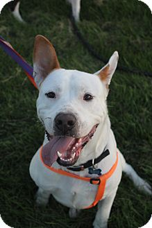 American Pit Bull Terrier Mix Dog for adoption in Westminster, Colorado - Journey