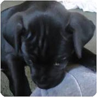 Boxer/Labrador Retriever Mix Puppy for adoption in Beachwood, Ohio - Sasha