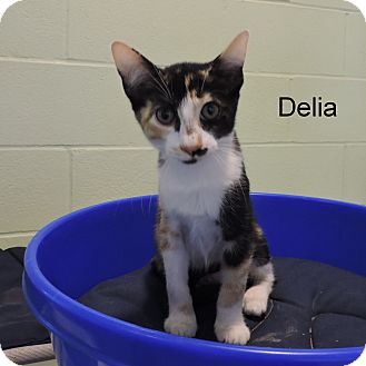 Domestic Shorthair Kitten for adoption in Slidell, Louisiana - Delia