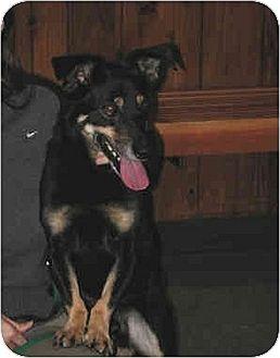 Dachshund/Corgi Mix Dog for adoption in Downey, California - Murray