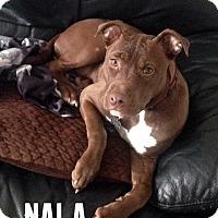 Adopt A Pet :: Nala - Cary, IL