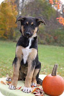 German Shepherd Dog Mix Puppy for adoption in South Haven, Michigan - Frau Blucher