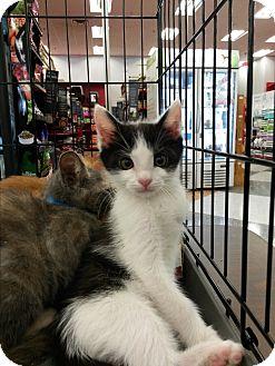 American Shorthair Kitten for adoption in San Dimas, California - Engine